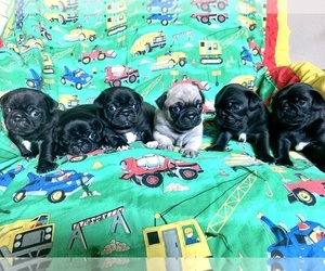 Pug Puppy for sale in RICHMOND, TX, USA