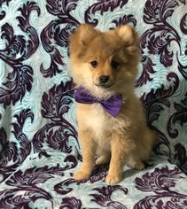 Pom-Shi Puppy for sale in HONEY BROOK, PA, USA