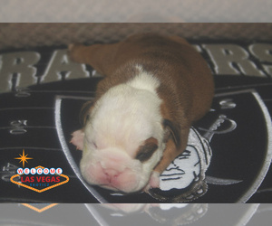 English Bulldog Puppy for Sale in LAS VEGAS, Nevada USA
