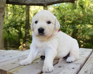 Golden Retriever Puppy For Sale in LAGRANGE, IN, USA