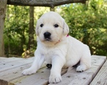 Golden Retriever Puppy For Sale in LAGRANGE, IN