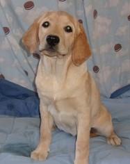Labrador Retriever Puppy for sale in CALIENTE, CA, USA