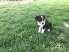 Miniature American Shepherd Puppy For Sale in ARTHUR, IL, USA