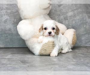 Cavachon Puppy for Sale in AMITY, North Carolina USA