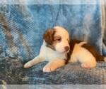 Puppy 10 Sheprador