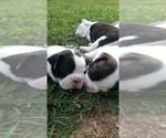Small #12 Faux Frenchbo Bulldog