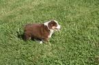 Australian Shepherd Puppy For Sale in KANSAS CITY, MO, USA