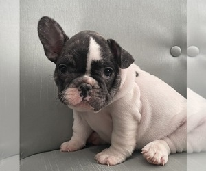 French Bulldog Puppy for sale in JOHNS ISLAND, SC, USA