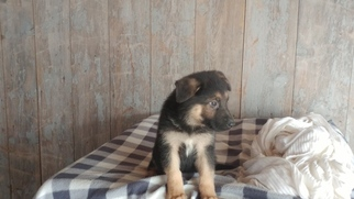 German Shepherd Dog Puppy For Sale in GRABILL, IN