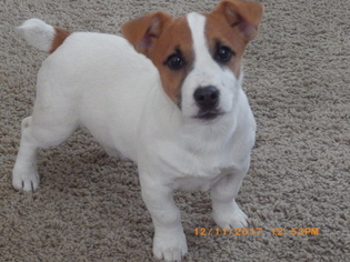 Jack Russell Terrier Puppy For Sale in CINCINNATI, OH