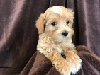 Maltese-Poodle (Toy) Mix Puppy For Sale in CLOVIS, CA, USA
