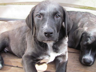 Labrador Retriever-Saint Bernard Mix Puppy For Sale in BEAUFORT, SC