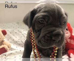 Neapolitan Mastiff Puppy for Sale in HOUSTON, Texas USA