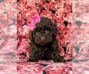 Cocker Spaniel-Poodle (Miniature) Mix Puppy for sale in BIRD IN HAND, PA, USA