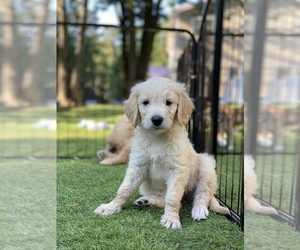 Goldendoodle Dog for Adoption in DURHAM, North Carolina USA