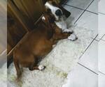 Small #1 Basset Hound