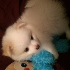 Pomeranian Puppy For Sale in NORTH RICHLAND HILLS, TX