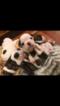 English Bulldogge Puppy For Sale in LAKE STEVENS, WA, USA