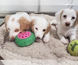 Dachshund Puppy for sale in ALBUQUERQUE, NM, USA
