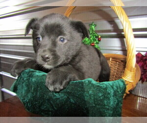 Australian Shepherd-German Shepherd Dog Mix Dog for Adoption in FORT WAYNE, Indiana USA