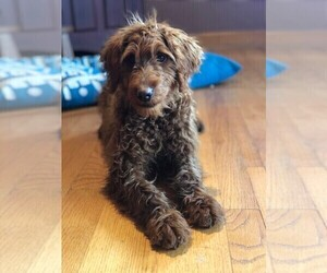 Labradoodle Puppy for sale in ADOLPHUS, KY, USA
