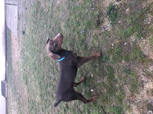 Doberman Pinscher Puppy for sale in EPHRATA, WA, USA