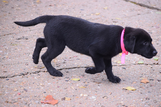 AKC Black Lab Female