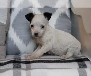 Medium Fox Terrier (Smooth)-Poodle (Miniature) Mix