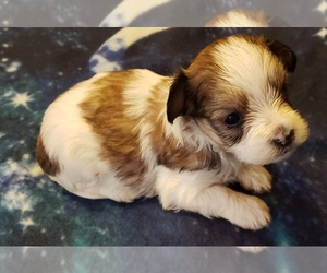 Morkie Puppy for Sale in ATHENS, Alabama USA