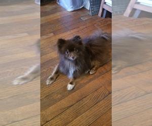 Pomeranian Puppy for sale in FULTON, MO, USA