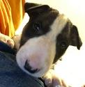 Small #6 Bull Terrier