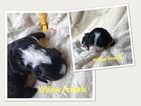 Bernese Mountain Poo Puppy For Sale in ROCKFORD, MI, USA
