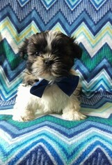 Shih Tzu Puppy for sale in LANCASTER, PA, USA