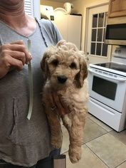 Goldendoodle Puppy For Sale in MYAKKA CITY, FL, USA