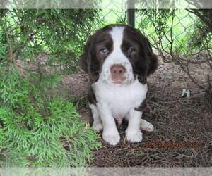 English Springer Spaniel Puppy for sale in AUDUBON, PA, USA