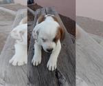 Puppy 7 Australian Shepherd-Beagle Mix