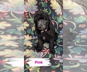 Poodle (Standard) Puppy for Sale in SEVEN LAKES, North Carolina USA