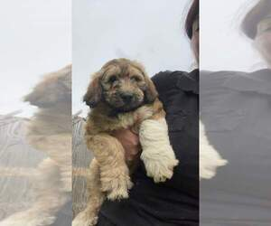 Pyredoodle Puppy for sale in BRAZIL, IN, USA
