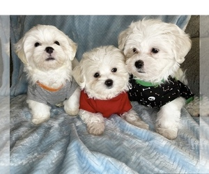Maltese Puppy for Sale in HIALEAH, Florida USA