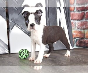 Boston Terrier Dog for Adoption in BEL AIR, Maryland USA