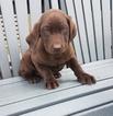 Labrador Retriever Puppy For Sale in ARTHUR, IL