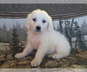English Cream Golden Retriever Puppy for sale in SHILOH, OH, USA