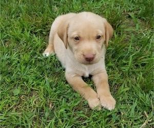 Labrador Retriever Puppy for Sale in SALISBURY, Pennsylvania USA
