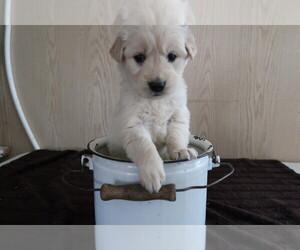 English Cream Golden Retriever Puppy for sale in KOKOMO, IN, USA
