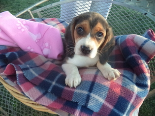 View Ad Beagle Puppy For Sale California Fresno Usa