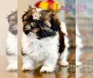 Shih Tzu Puppy for Sale in SUGAR HILL, Georgia USA
