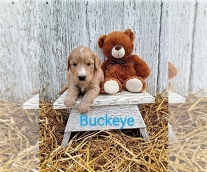 Goldendoodle Puppy for sale in WOOSTER, OH, USA