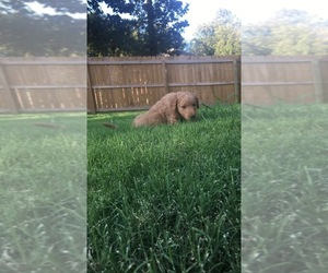 Double Doodle Puppy for sale in GROVE, OK, USA