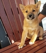 Shiba Inu Puppy For Sale in ARTHUR, IL, USA