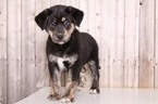 Goberian Puppy For Sale in MOUNT VERNON, OH, USA